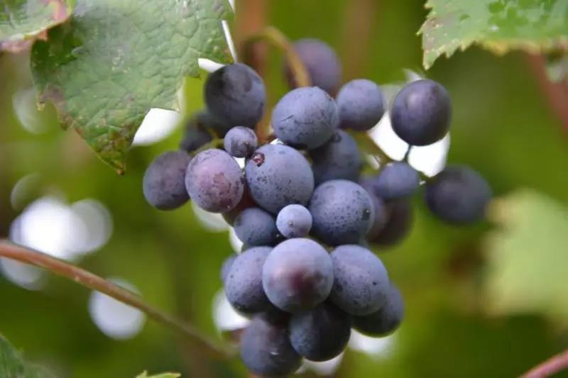 夏天的葡萄如此诱人,可是糖尿病人能吃吗